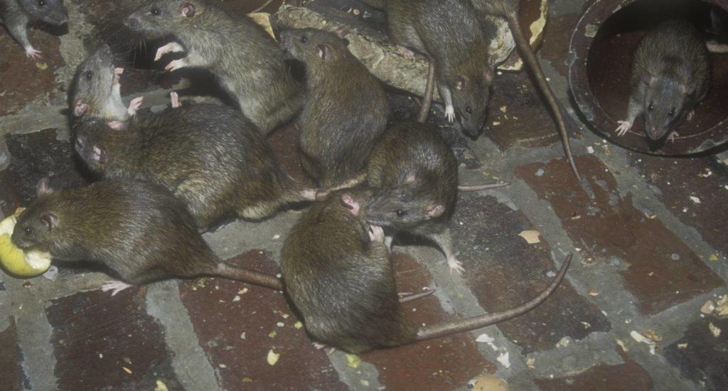 уничтожение крыс в Кумертау